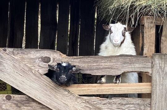 Stall mit zwei Ziegen
