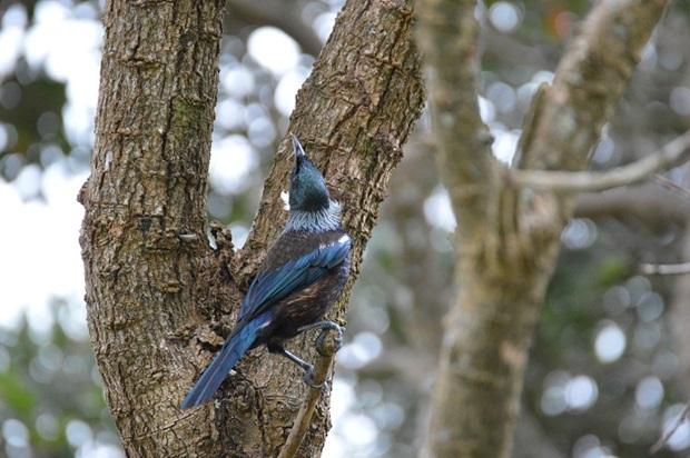 Uusiseelantilainen tui-lintu