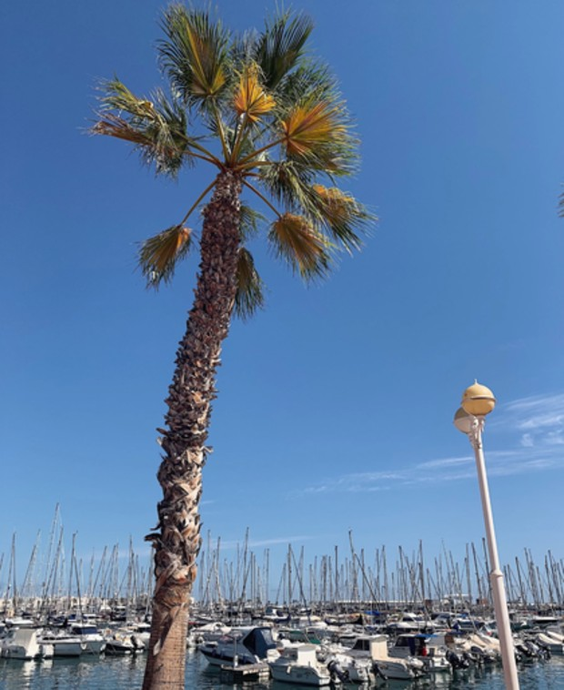 Palm i Alicante, Spanien