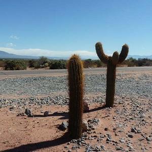 Kaktus i Argentina