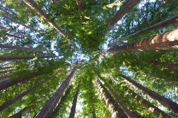 Ellen trær i New Zealand