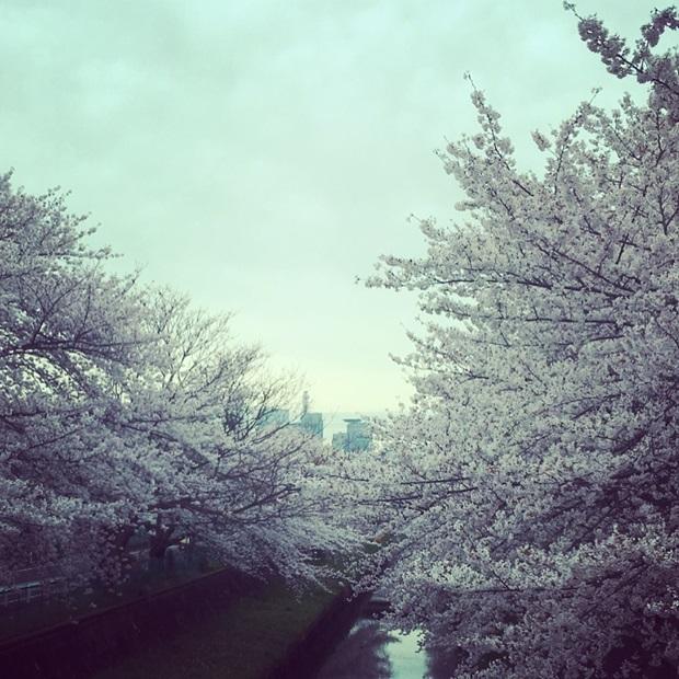 Kirsebærblomstring i Japan