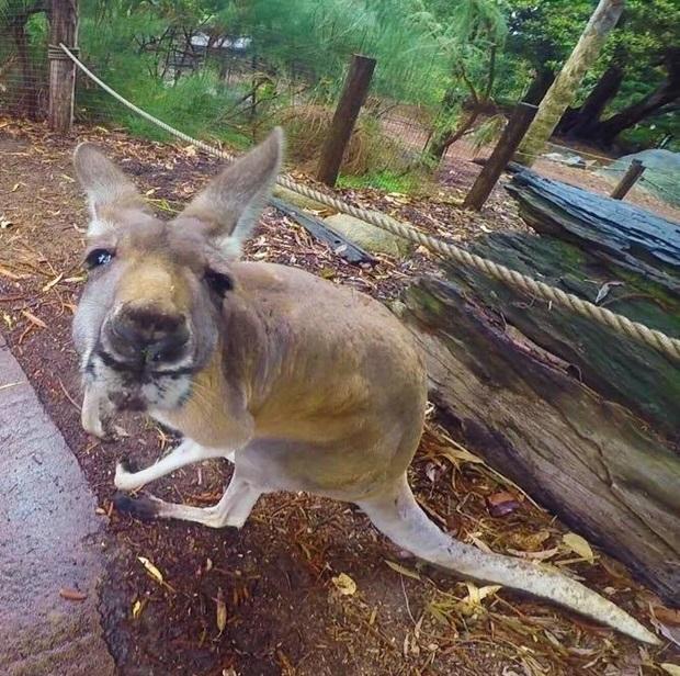 Morsomt kengurubilde fra Australia.