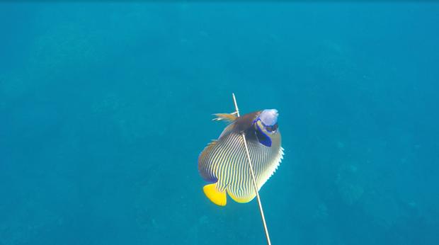 spydet fisk
